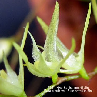 Anathallis linearifolia  do blogdabeteorqudeas