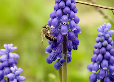 Bee on Muscari, Grape Hyacinth