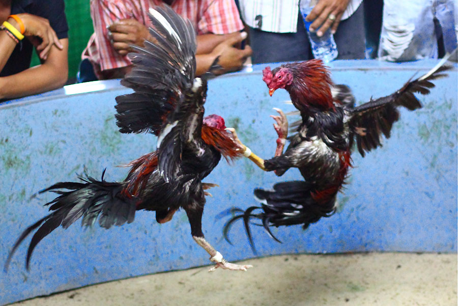 Kemajuan Judi Sabung Ayam dan Sejarahnya Patut Diketahui