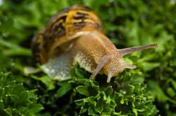 Snail Feeding on grass/ Snail farming