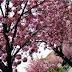 Keď kvitnú japonské čerešne