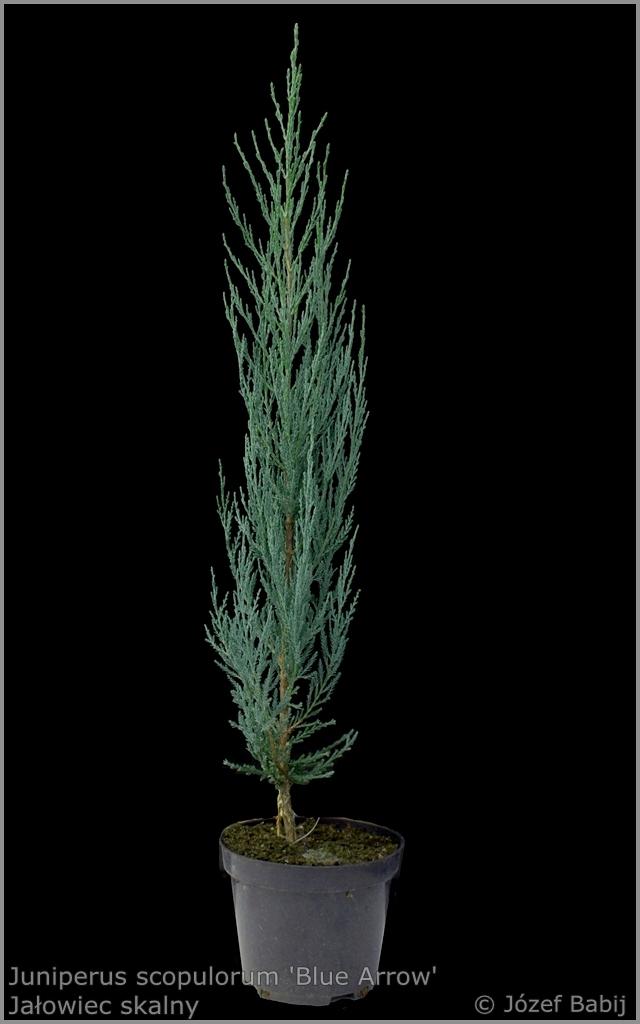 Juniperus scopulorum 'Blue Arrow' - Jałowiec skalny 'Blue Arrow'