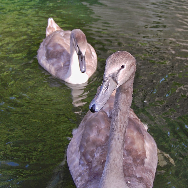 Grey cygnet swans