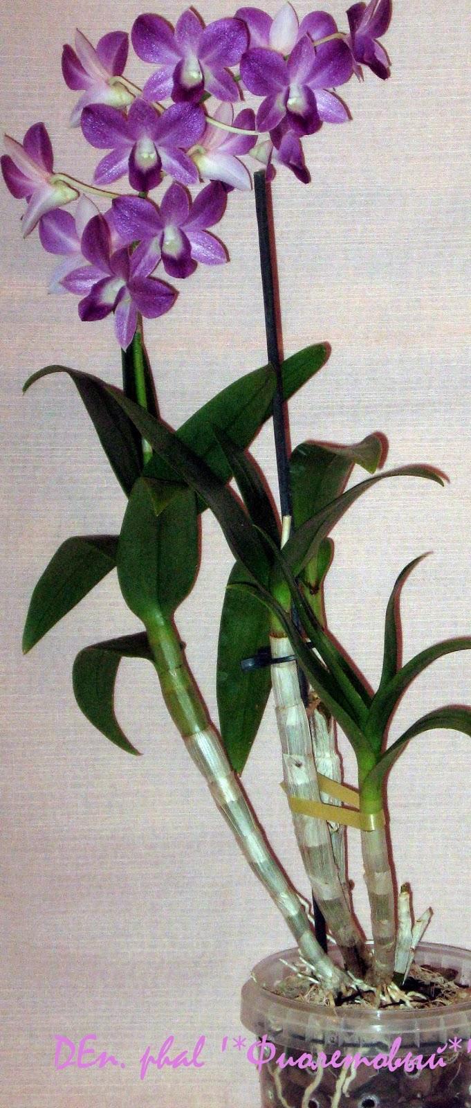 Дендробиум фаленопсис Фиолетовый в полн6ый рост