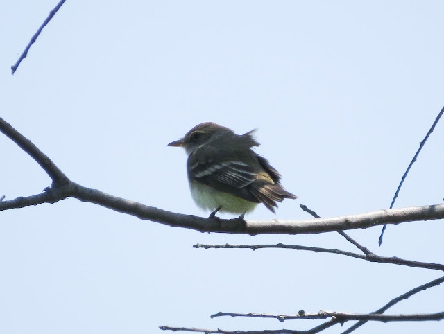 Empidonax Flycatcher - Jamaica Bay, New York