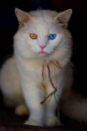 Why do some Turkish Angora cats have odd eyes?