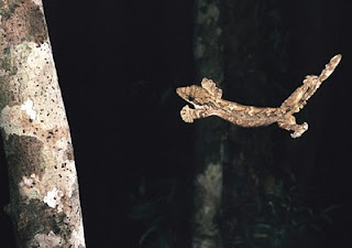 FLYING+GECKO