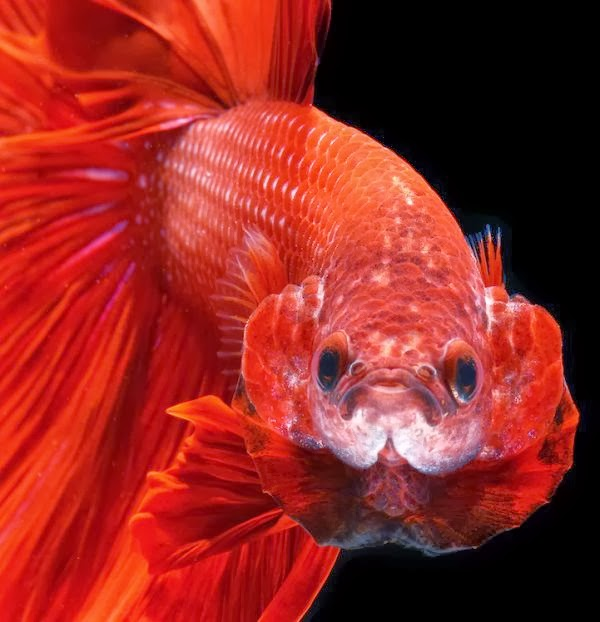 Betta Fish Bubble Nests  everything you need to know