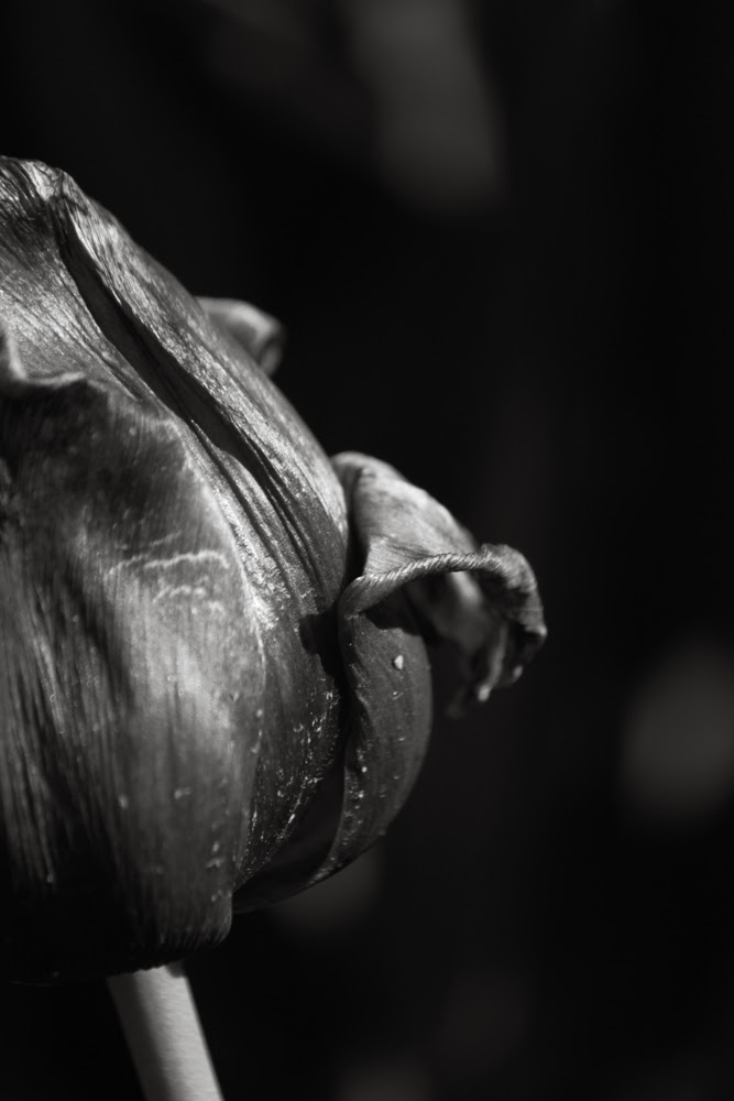 Sidelighting tulip flower photography blackandwhite bw