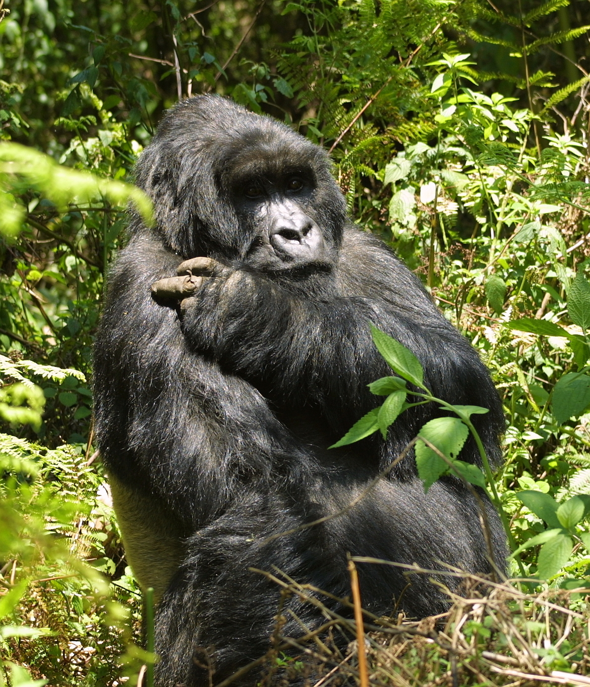gorillas an endangered species Gorillas: introduction, species, and habitat evolution, social structure, and activities communication, reproduction, and diet diseases and threats.