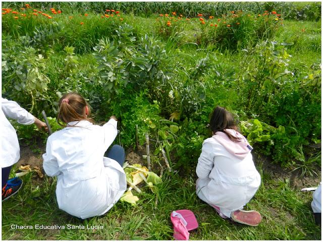 Alumnos cosechando hortalizas - Chacra Educativa Santa Lucía
