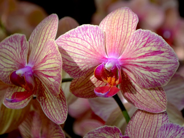 Orchid Daze: Pop! - Atlanta Botanical Garden