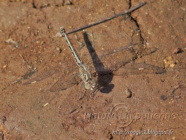 Brachythemis leucosticta