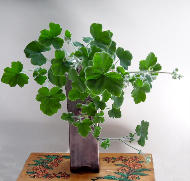Pelargonium tomentosum - peppermint geranium with rambling growing habit