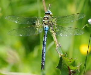 Dragonfly /Libélulas/Burruntziak