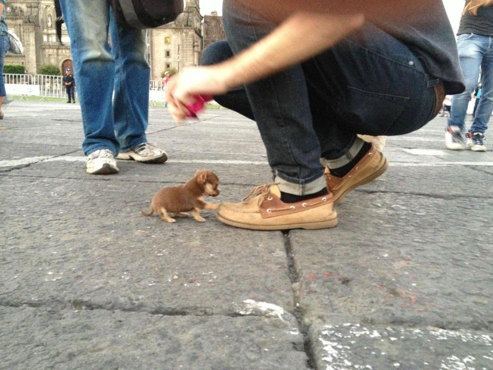 Very little puppy touching the shoes of a person
