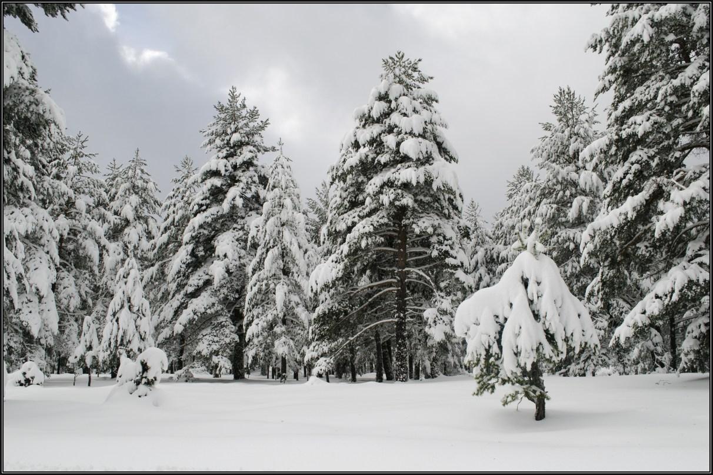 Pinos rendidos ante la nevada