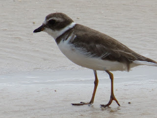 Image of a Semipalmated Plover