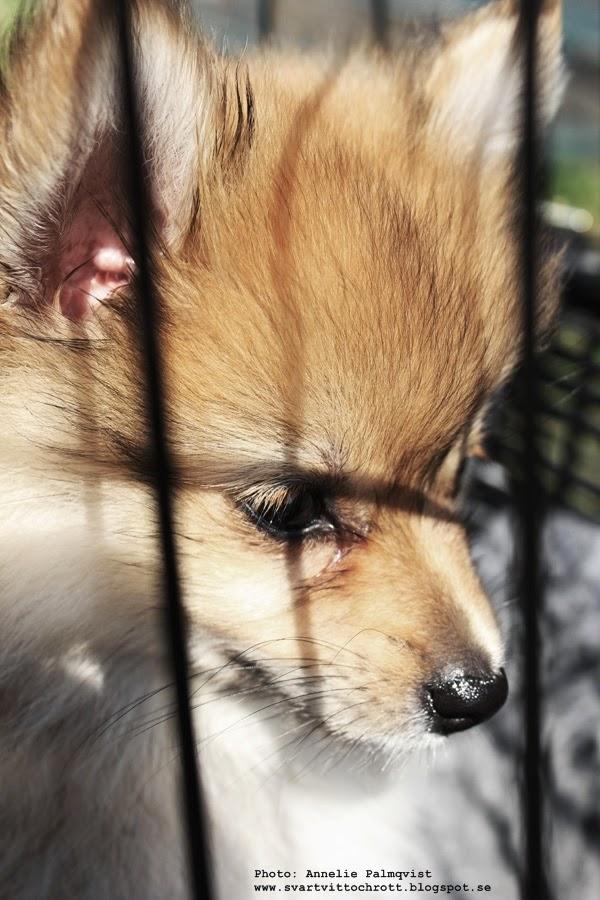 pomeranian, valp, valpar, valpen, blandras, blandraser, hund, hunden, hundens, hundar, hundarna, cykeltur,
