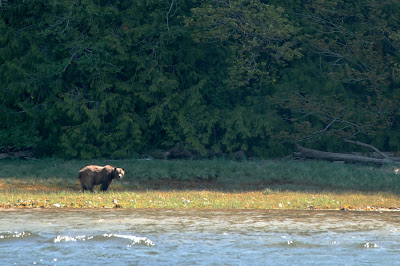 Grizzly bear in the Phillips River