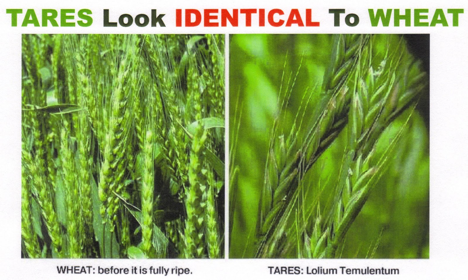 Characteristics Of Wheat And Tares