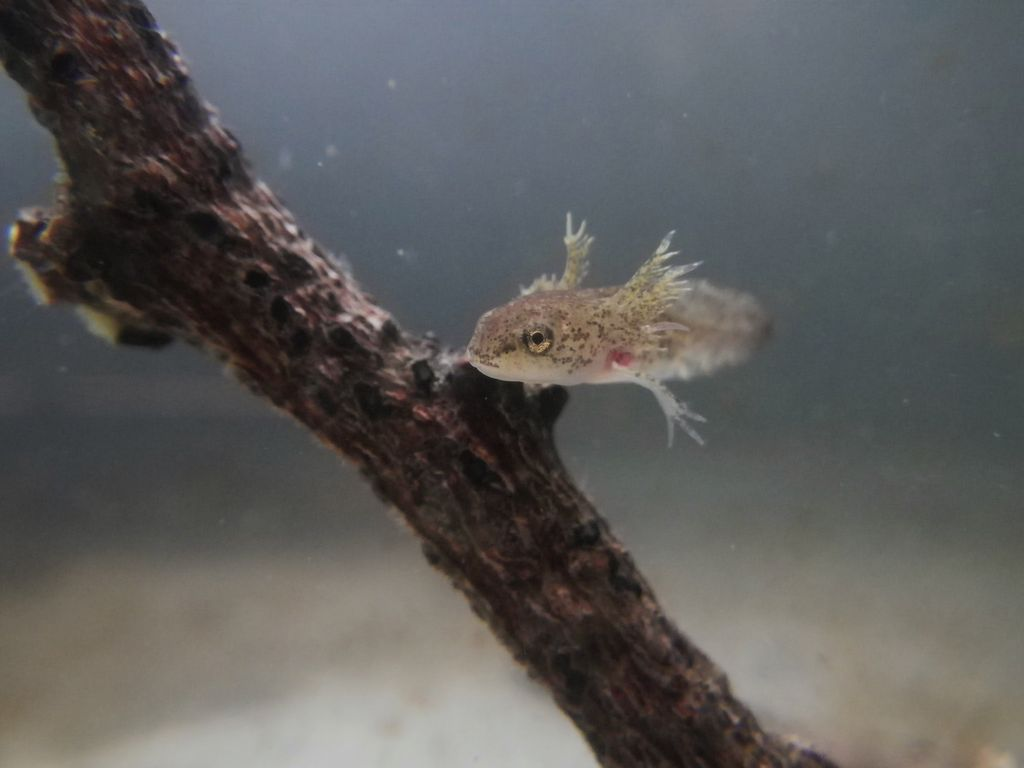 Spotted Salamander Larvae