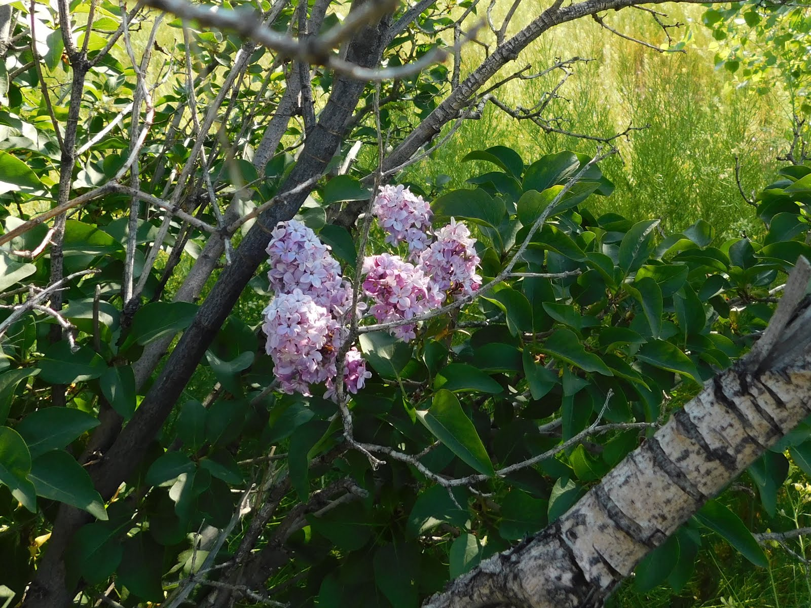Lilacs On My Bush