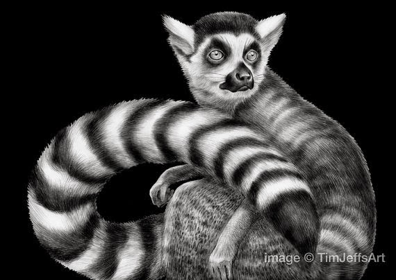 02-Ring-Tailed-Lemur-Tim-Jeffs-All-Creatures-Great-and-Small-Ink-Drawings-www-designstack-co