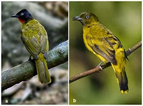 Foto Burung Kutilang Sumatera Jantan