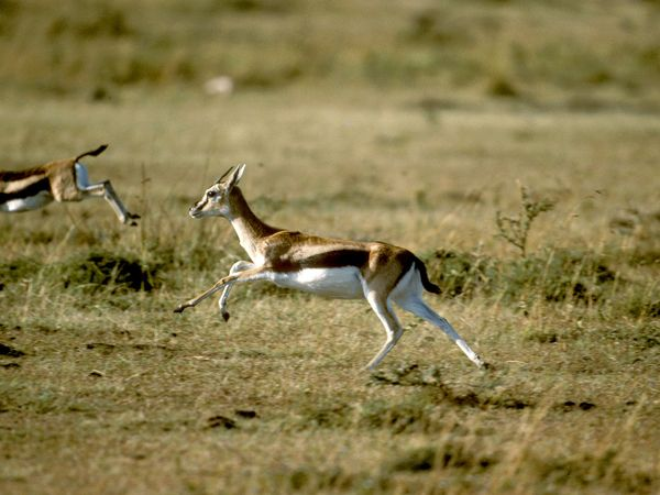 Thomson's Gazelle
