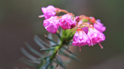 Phyllodoce empetriformis (Pink Mountain-Heath)