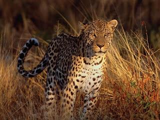 ملف كامل عن اجمل واروع الصور للحيوانات  المفترسة   حيوانات الغابة  6