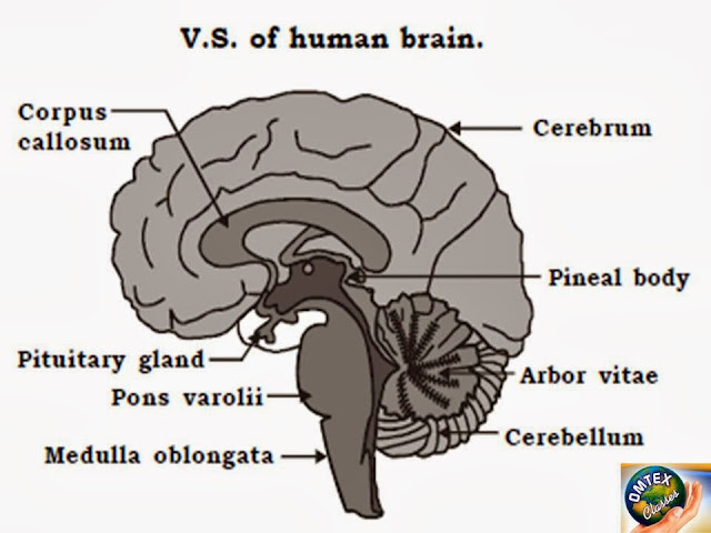 Omtex classes vertical section of human brain diagram vertical section of human brain diagram ccuart Choice Image