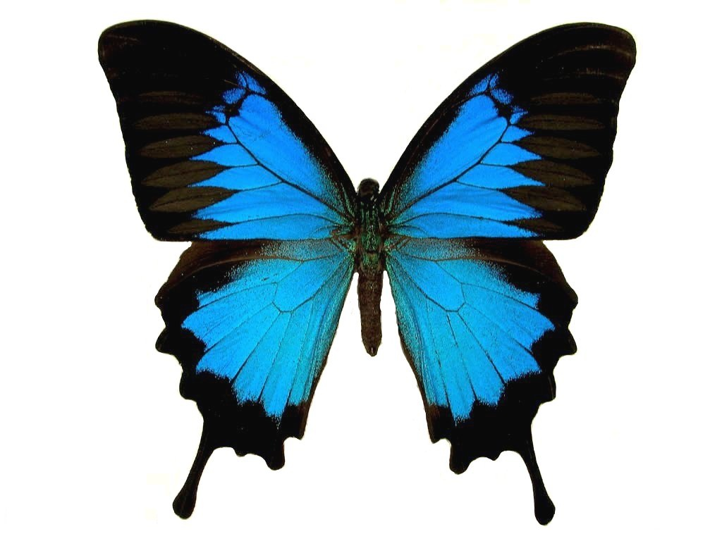 Butterfly - photo#15