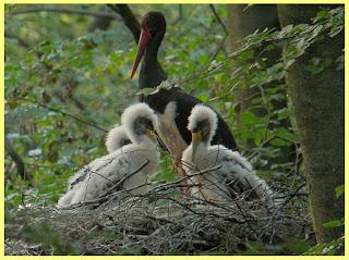 Cigüeña negra con sus polluelos