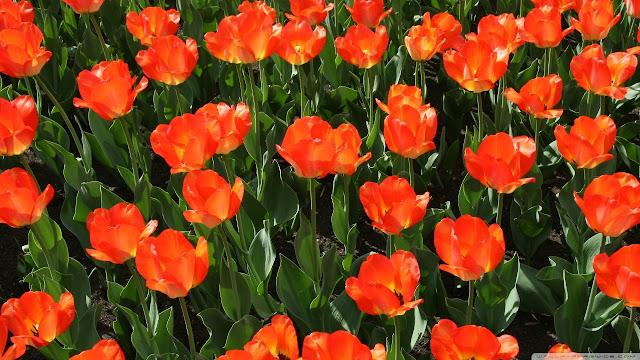 Ảnh đẹp cuộc sống: Bộ hình nền đẹp về cánh đồng hoa Tulip 8