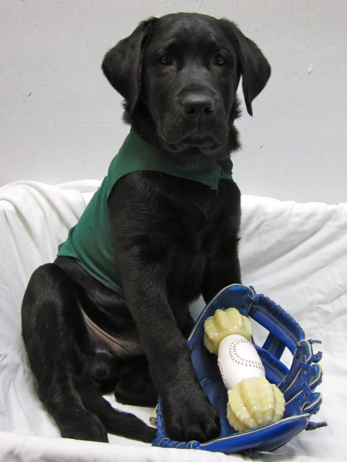 3 month old black lab puppy Romero poses for a picture in his green Future Dog Guide jacket (that is starting to get a little small on him). He is sitting on a platform that is draped with a white sheet, against a white wall. His right front paw rests in the palm of a blue baseball glove in front of him. There is also a large nylabone sitting in the glove. The centre part of the bone is patterned like a baseball (white with red stitching).