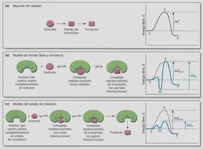 Enzimas (III).Modelos de acción de las enzimas | Apuntes de Bioquímica