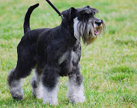 Miniature Schnauzer information Pictures