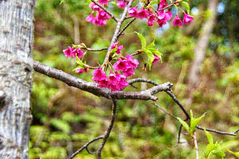 sakura blossoms, Mt. Yaedake