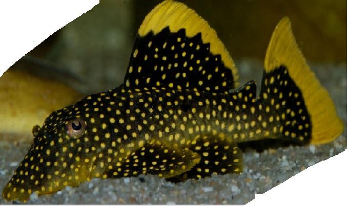 golden nugget pleco ~ Fish Profile