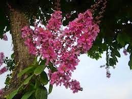 Pohon Pelindung Yang Memiliki Bunga   Jenis Pohon Bunga