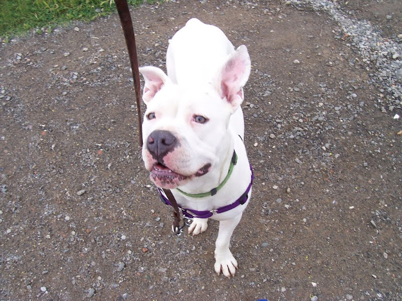 francie standing in front of camera with her green collar on and purple harness, standing on a gravel path