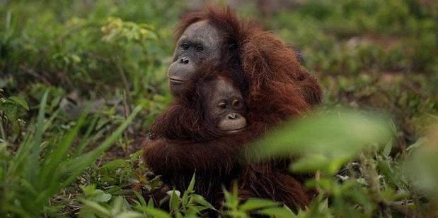 Momen Mengharukan Saat Orangutan Lepas Liar