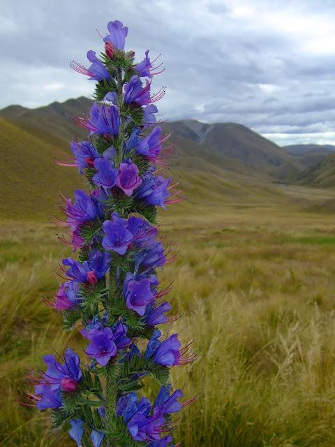 bugloss flower