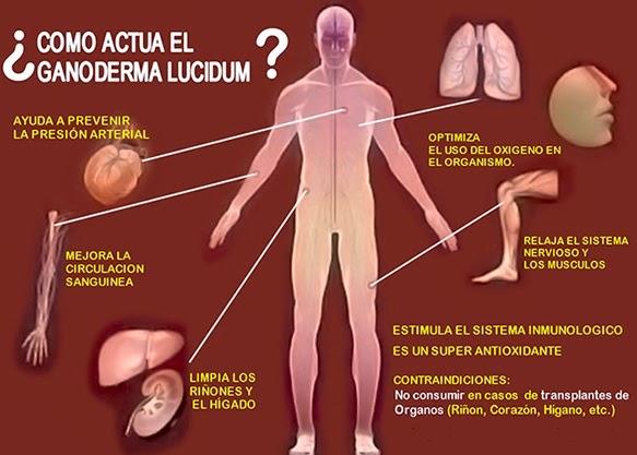Unos beneficios del hongo medicinal ganoderma lucidum