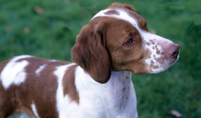 Brittany Dog Breed Information high quality wallpaper