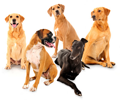 golden retriever, labrador, boxer, portraits dog photo studio