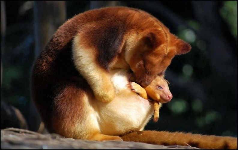 Adventures With Mel & Syd: Tree-kangaroo and her precious ...