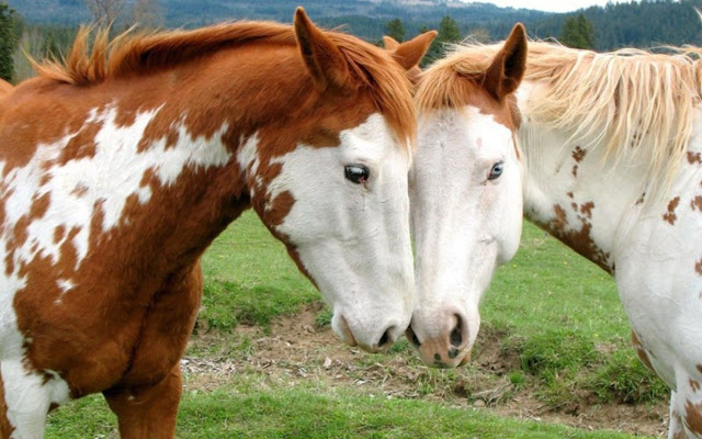 horses+pictures+%25289%2529